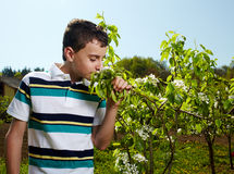 Kid in an orchard in the countryside. Teenager boy smelling cherry flowers on tree branches in an orchard in the countryside Royalty Free Stock Photo