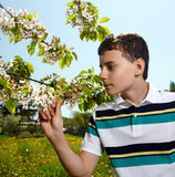 Kid in an orchard in the countryside. Teenager boy smelling cherry flowers on tree branches in an orchard in the countryside Stock Image