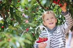 Kid picking cherries stock photography