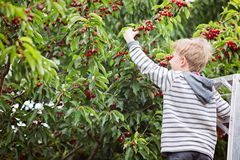 Kid picking cherries. Smiling boy standing at the ladder and picking berries in the orchard, copy space on left Royalty Free Stock Photos