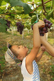 Kid picking grapes. Chinese kid picking grapes with scissors in plantation Stock Photo