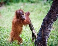 The kid plays. The cub of the orangutan with enthusiasm plays with a branch of a tree against a green grass Royalty Free Stock Photo