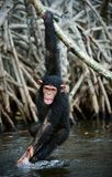 The kid plays. The kid of a chimpanzee hangs on a branch and plays with water, splashing on the parties Stock Photos