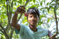 A kid plucks lychee from a tree at ranisonkoil, thakurgoan, Bangladesh. The Lychee is a fresh small fruit having whitish pulp with fragrant flavor. The fruit is royalty free stock photography