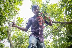A kid plucks lychee from a tree at ranisonkoil, thakurgoan, Bangladesh. The Lychee is a fresh small fruit having whitish pulp with fragrant flavor. The fruit is stock images