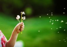 Dandelions in a child`s hand against a background of a green garden royalty free stock image