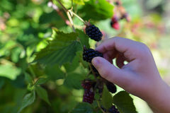 Kid's hand picking up blackberry Royalty Free Stock Photo