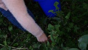 Kid`s hands picking apples off the ground under fruit tree in summer garden. slow motion