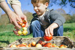 Kid and senior man hands putting apples in basket Royalty Free Stock Photography