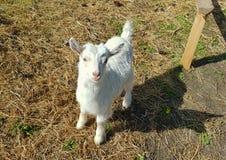 Kid sheep looking stock photo