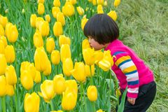 Kid smelling tulip sin Hangzhou. A kid smelling the yellow tulips in a park in Hangzhou, China royalty free stock photos
