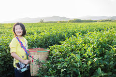 Kid standing at Green tea plantation field in shui fong at sunse Royalty Free Stock Photos