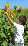 Kid and sunflowers Royalty Free Stock Photo