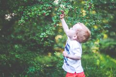 Kid toddler picking berries from a tree