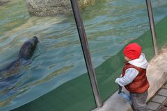 Kid watching seal in the aquarium. Small kid standing next to huge aquarium and watching seal swimming in the water, in the zoo Stock Photo