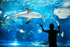 Kid watching the shoal of fish swimming in oceanarium. Little boy, kid watching the shoal of fish swimming in oceanarium Royalty Free Stock Photos