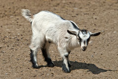 Kid, Young goat Stock Photography