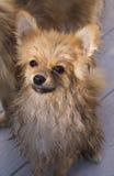 Kiddie dog. Look something kiddie  brown pomeranian dog Stock Images