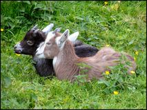 Kidding Around. Baby goats in folk park in ireland stock photography