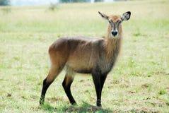 kidepo np Uganda doliny waterbuck Obrazy Stock