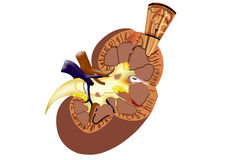 Kidney Stock Photo