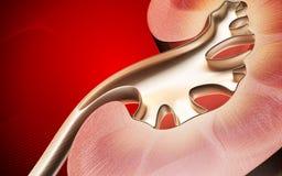 Kidney Stock Image