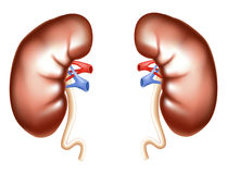 Kidney Royalty Free Stock Photo