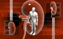 Kidney Stock Photography