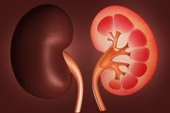 Kidney stock illustration