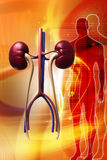 Kidney Royalty Free Stock Photos