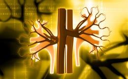 kidney Imagem de Stock