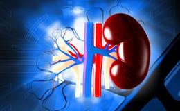 kidney Imagens de Stock