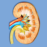 Kidney Stock Photos