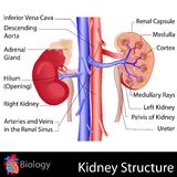 Kidney Anatomy Royalty Free Stock Photography