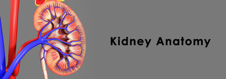Kidney anatomy Royalty Free Stock Images