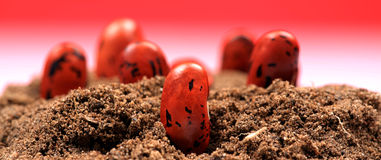 Kidney bean plantation Stock Images