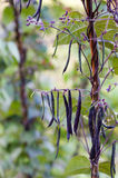 Kidney bean pods on a plant Royalty Free Stock Image