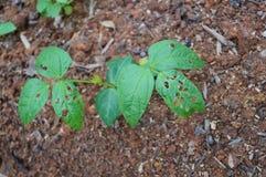 Kidney bean seedlings Stock Image