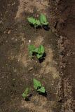 Kidney beans germination stock photo