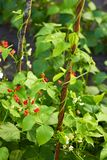 Kidney beans plant growing in a garden. And blooming with white and red flowers and two wooden sticks as support props royalty free stock images