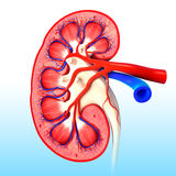 Kidney cross section in stock photo. 3D art illustration of anatomy of kidney cross section in stock photo Stock Photos