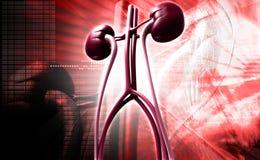 Kidney vector illustration