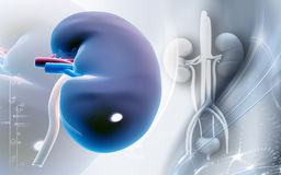 Kidney Royalty Free Stock Image