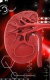 Kidney Royalty Free Stock Photo