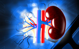 kidney Stock Images