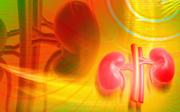 Kidney Royalty Free Stock Photography