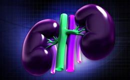 Kidney Stock Photography