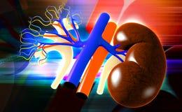 Kidney Royalty Free Stock Photos