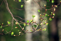 Kidney green leaf spring branches Stock Photography