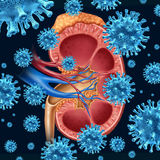 Kidney Infection. Concept  with a group of microscopic virus cells infecting a medical diagram with a cross section of the inner organ with adrenal gland as a Stock Photos